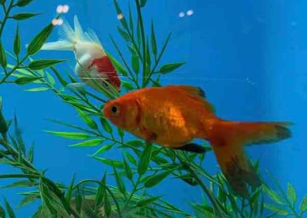 RubberDuckyFish